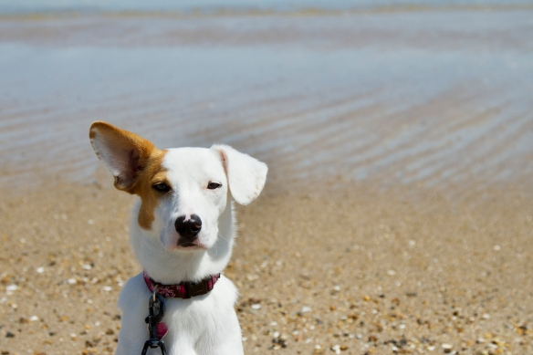 This is me at Bethany Beach, DE. My dad says my ears have independent suspensions.