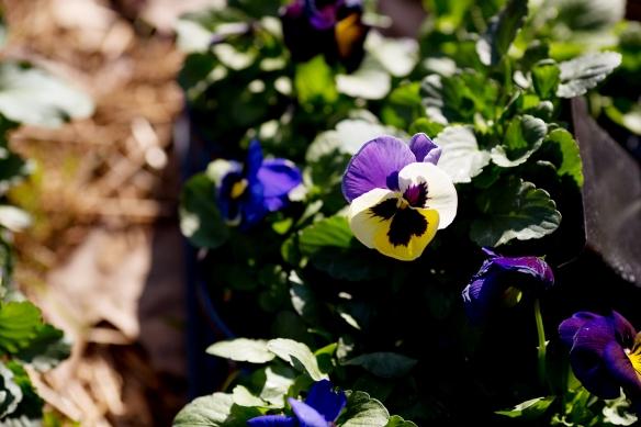 20130323_Planting Pansies_003
