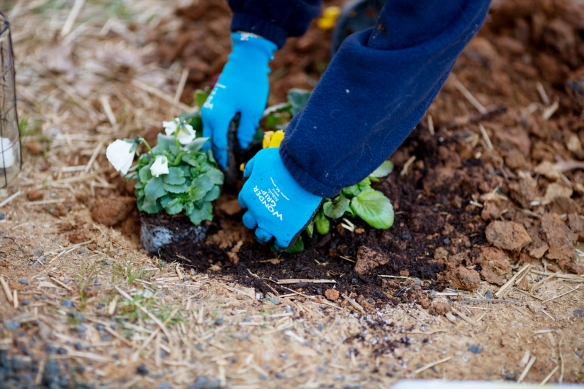 20130323_Planting Pansies_008