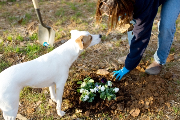 20130323_Planting Pansies_021